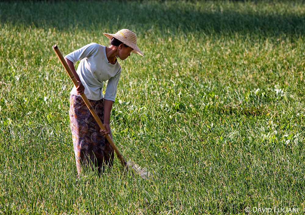 A woman pouring water on a rice field.
