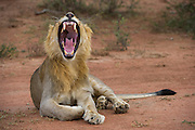 Lion (Panthera leo) Yawning<br /> Marakele Private Reserve, Waterberg Biosphere Reserve<br /> Limpopo Province<br /> SOUTH AFRICA<br /> RANGE: