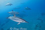 Hawaiian spinner dolphins or long-snouted spinner dolphins, or Gray's spinner dolphins, Stenella longirostris longirostris, Hookena, Kona, Hawaii ( the Big Island ) Central Pacific Ocean