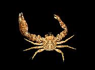 Long-clawed Porcelain Crab - Pisidia longicornis