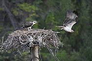 Fledgling, Osprey, Bow Valley, Alberta