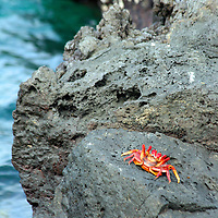 A Sally Lightfoot Crab rests on the rock at Bartholomew Island in the Galapagos, Ecuador, South America.