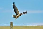 Swainson's hawk Swainson's hawk (Buteo swainsoni)  taking flight after leaving fence post on prairie<br />Robsart<br />Saskatchewan<br />Canada