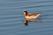 Stock photo of Wilson's phalarope captured in Colorado.  These birds practice polyandry, a mating strategy where the females mate with several males.  The females also leave the males to guard the eggs.