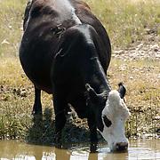 Cattle grazing in Montana.