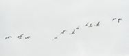 A flock of birds flight in the sky at Lac Naila, Morocco.