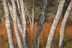 Tree trunks, Hill Country between Blanco and Fredericksburg, Texas, USA