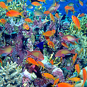 Scalefin Anthias inhabit reefs. Picture taken Red Sea.