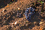 The soil at Chateau La Grave Figeac, Saint Emilion, Bordeaux: mainly sand on top. A bunch of grapes on the ground due to crop thinning / green harvest  - Chateau La Grave Figeac, Saint Emilion, Bordeaux