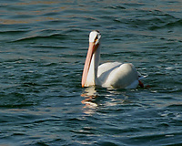 American White Pelican (Pelecanus erythrorhynchos). Jackson Lake Dam. Grand Teton National Park, Wyoming. Image taken with a Nikon D200 camera and 80-400 mm VR lens.