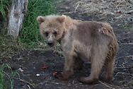 A brown bear cub eating bits of salmon, Katmai National Park
