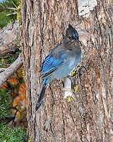 Steller's Jay (Cyanocitta stelleri). Crater Lake National Park, Oregon. Image taken with a Nikon D200 camera and 80-400 mm lens.