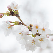 """It's a rainy morning at the Tidal Basin, as the National Park Service judges that 70 percent of the blossoms have now reached the """"puffy white"""" stage. Some trees are now in full bloom, but most are at least a few days away."""