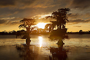 Cypress trees at sunset