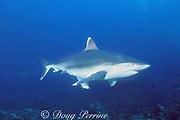 silvertip shark, Carcharhinus albimarginatus, with rainbow runner, Elagatis bipinnulata, hiding underneath, Burma Banks, Myanmar, near border with Thailand ( Andaman Sea, Indian Ocean )