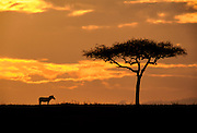 Sigle Zebra and Acacia tree at sunrise