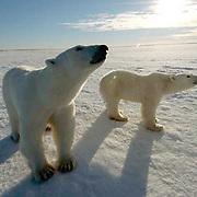Polar Bear (Ursus maritimus) a mother and her cub at Cape Churchill on the shores of Hudson Bay, near Churchill, Manitoba. November.