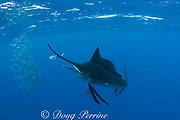 Atlantic sailfish, Istiophorus albicans, whacks a sardine out of a bait ball of Spanish sardines (aka gilt sardine, pilchard, or round sardinella ), Sardinella aurita, off Yucatan Peninsula, Mexico ( Caribbean Sea ) #1 in sequence of 2 images