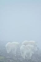 Mountain goats on Mt. Rainier National Park, WA.