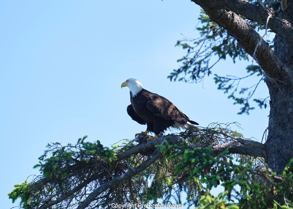Bald eagles in the Dungeness are of Sequim, WA , May 27, 2019. (Photo/John Froschauer)