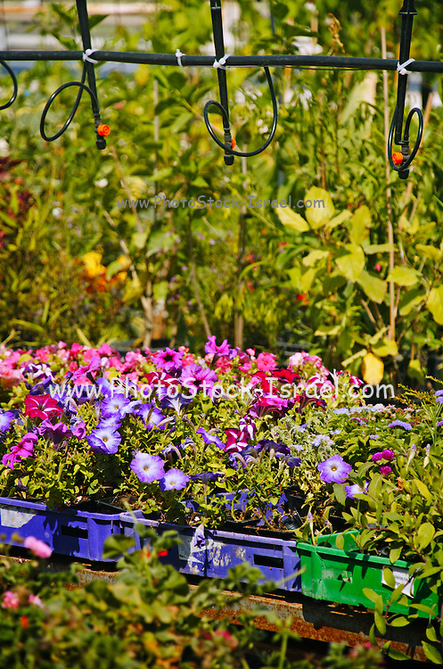 Plants and flowers in a nursery. The irrigation system can be seen above the plants and flowers