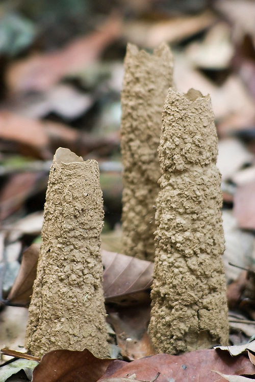 Mud tubes built by cicadas, Manu National Park, Peru. For up to 17 years, Cicadas live as nymphs underground, sucking the sap from the roots of plants. They then emerge all at the same time out of mud tubes for a deafening mating frenzy.
