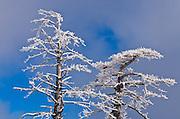 Rime ice on pine tree, San Bernardino National Forest, California