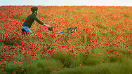 A man pushes is bicycle through a field of poppies near Goodwood, West Sussex as the sun sets.<br /> Picture date Thursday 24th June, 2021.<br /> Picture by Christopher Ison. Contact +447544 044177 chris@christopherison.com