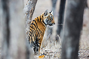 A young Bengal tiger cub sitting in the forest (Panthera tigris tigris), Ranthambhore National Park, Rajasthan, India,