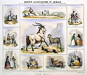The Goat: Used for milk; cheese; meat; leather; textiles; gloves; shoes; draught. Hand-coloured lithograph by Waterhouse Hawkins, creator of the prehistoric animals for the Crystal Palace Exhibition of 1851.  From 'Graphic Illustrations of Animals and Their Utility to Man', London, c1850.