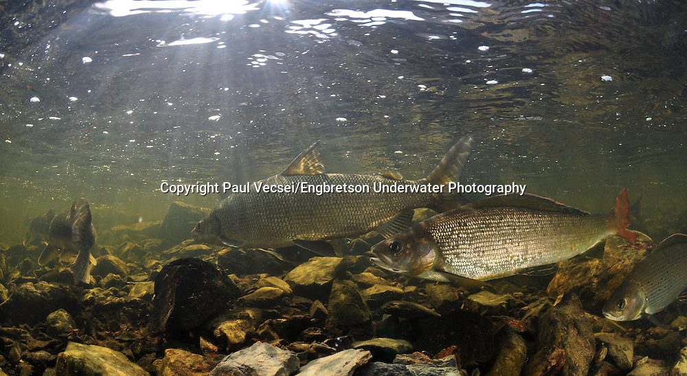 Arctic Grayling (with Lake Whitefish in background)<br /> <br /> Paul Vecsei/Engbretson Underwater Photography