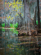 Caddo Lake (French: Lac Caddo) is a 25,400 acres (10,300 ha) lake and wetland located on the border between Texas and Louisiana, in northern Harrison County and southern Marion County in Texas and western Caddo Parish in Louisiana. The lake is named after the Southeastern culture of Native Americans called Caddoans or Caddo, who lived in the area until their expulsion in the 19th century. It is an internationally protected wetland under the RAMSAR treaty and features the largest Cypress forest in the world. Caddo is one of Texas' few non-oxbow natural lakes and is the 2nd largest in the South; however, it was artificially altered by the addition of a dam in the 1900s.