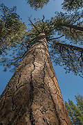 A large, old pondersa pine (Pinus ponderosa) in Deschutes National Forest, Oregon.