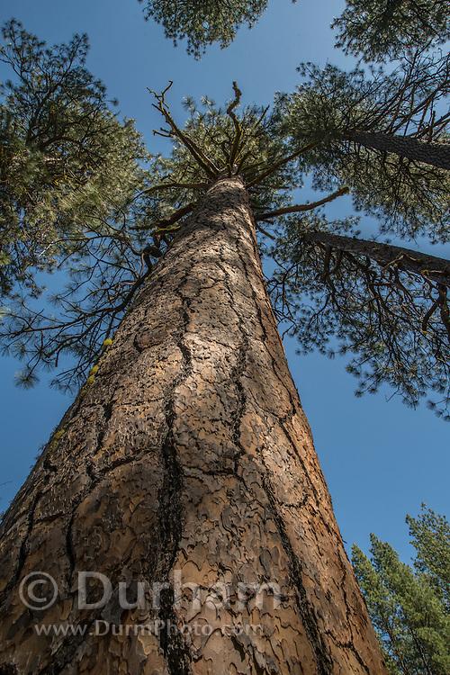 A large, old pondersa pine (Pinus ponderosa) in Deschutes National Forest, Oregon.