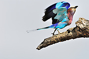 Lilac breasted roller unfurls his wings and postions its legs and body to take off in flight.