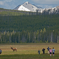 Tourists wander dangerously close to Elk grazing in Yelowstone National Park, Wyoming. Mount Holmes rises in the background.