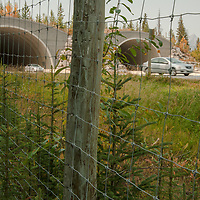 Extensive fencing and wildlife overpasses enable animals to safely cross the Trans-Canada Highway in Banff National Park, Alberta, Canada.