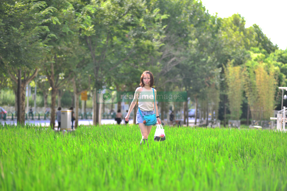 September 4, 2017 - Shanghai, Shanghai, China - Shanghai, CHINA-4th September 2017: (EDITORIAL USE ONLY. CHINA OUT) ..The rice fields can be seen in front of a shopping mall in the central area of Shanghai.Citizens joked that it would produce the most expensive rice. (Credit Image: © SIPA Asia via ZUMA Wire)