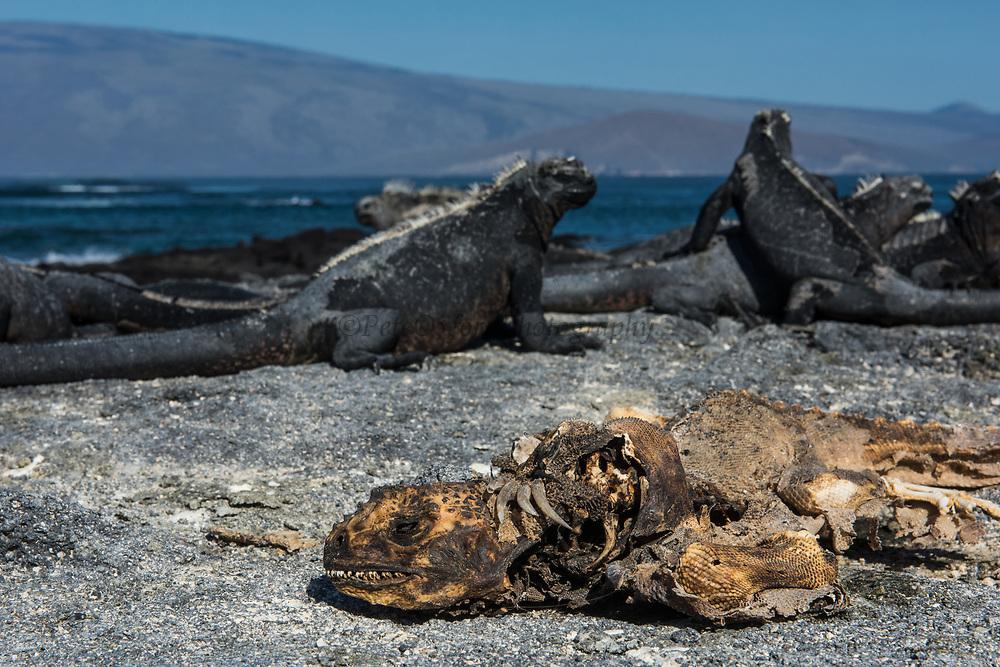 Marine Iguanas (Amblyrhynchus cristatus) <br /> Fernandina Island<br /> Galapagos<br /> Ecuador, South America<br /> ENDEMIC TO THE ISLANDS