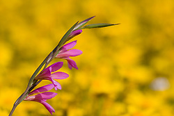 Gladiolus, a wild flower in the Salentine countryside