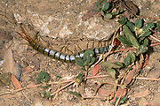 Large centiped (about 10 cm long), probably Scolopendra subspinipes, from Komodo National Park, Indonesia