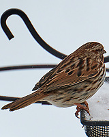 Song Sparrow (Melospiza melodia). Image taken with a Leica CL camera and 90-280 mm lens.