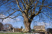 Snow melts off a Sycamore tree in Farmington Village, The Cotswolds, England, United Kingdom