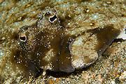 Unidentified left-eye flounder in Lembeh Strait, Indonesia