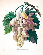 19th-century hand painted Engraving illustration of White (green) grapes on a vine, by Pierre-Joseph Redoute. Published in Choix Des Plus Belles Fleurs, Paris (1827). by Redouté, Pierre Joseph, 1759-1840.; Chapuis, Jean Baptiste.; Ernest Panckoucke.; Langois, Dr.; Bessin, R.; Victor, fl. ca. 1820-1850.
