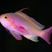 Colorful male jewel fairy basslet (Pseudanthias squamipinnis) photographed in the Eastern Fields of Papua New Guinea