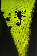A scorpion in the rain forest of Costa rica