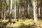 Rows of coniferous pine trees in forestry plantation, Rendlesham Forest, Suffolk, England, UK