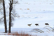 Yellowstone wolves on the move in the Lamara Valley.