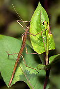 Unidentified stick insect from Andasibe, Madagascar.